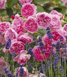 """Harlow Carr"" is my next David Austin rose. Look how lovely it is with lavender! Well you better hurry because David Austin retired last year. Fragrant Roses, Shrub Roses, Roses David Austin, David Austin Climbing Roses, Lavender Hidcote, Lavender Hedge, Growing Lavender, Austin Rosen, Rooting Roses"