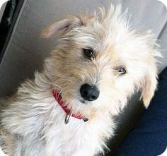 Poway, CA - Maltese/Cairn Terrier Mix. Meet Princess Paige, a dog for adoption. Wheaten Terrier Mix, Chihuahua Terrier Mix, Bull Terrier Mix, Pitbull Terrier, Russell Terrier, Chihuahua Dogs, Rescue Dogs, Animal Rescue, Pet Dogs