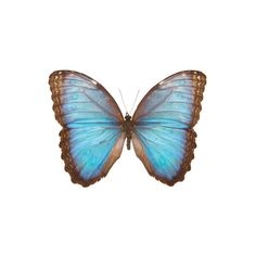 Common Blue Morpho Butterfly (€110) ❤ liked on Polyvore featuring borboletas, butterflies and wings