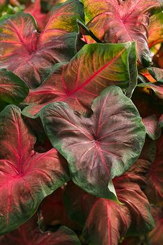 """Artful Heartfire Caladium will light a fire in the shade, OR in the sun. Just picture this beauty under a tree, or as a tall thriller in a container at your front door. Will reach a height of 20"""", with a spread of 14""""...http://emfl.us/8JKd"""