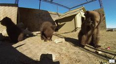 Random Acts staffer Shahr brought a donation of food to the Animal Ark in Reno, NV.  Animal Ark is a wildlife sanctuary that houses injured, abandoned and otherwise non-releasable wildlife - mostly predatory animals and birds such as wolves, bears, cheetahs, mountain lions, owls, etc.   Watch these adorable bear cubs being cute <3 They are just a few of the Ark's inhabitants <3