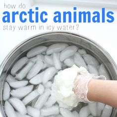 Ever wondered how arctic animals stay warm in icy water? This fun science experiment shows how a layer of fat makes a huge difference in body temperature! experiments How Arctic Animals Stay Warm in Icy Water Animal Science, Cool Science Experiments, Science Fair Projects, Science Classroom, Science Lessons, Teaching Science, Science For Kids, Science Activities, Science Ideas