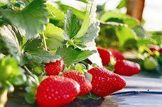 """""""Mimos feito a mão..."""": Aprenda a plantar morangos em casa"""
