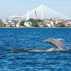 Dolphins in Charleston Harbor. Every time I've been there I see dolphins on the beach