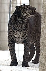 A Jaglion; Father is a jaguar, mother is a lion. GORGEOUS creature!