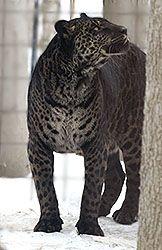 A Jaglion; Father is a jaguar, mother is a lion. GORGEOUS creature!