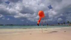 Flamingos - Aruba