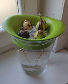 Avocado seed sprouting system with 2 IKEA items - IKEA Hackers