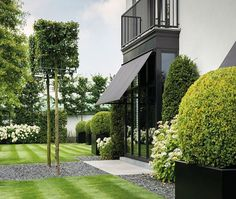 formal lawns pleached boxed clipped topiary large Buxus balls in contemporary black cube planters