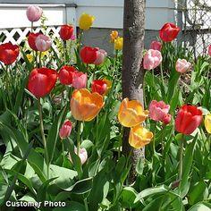 Perennial Darwin Tulips - A customer photo. Love the rainbow of color!