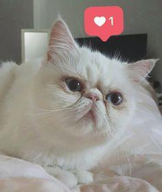 Como eu curto essa princesa! Ama dormir sobre a barriga da mamãe ❤ . . . . #casa #cactusclub #catlove #cat #apartamento #decoração #like4like #like #instahome #instagram #instagood #instadecor #gato #myhome #homesweethome #goodmorning #home #interior #cats #persiancat #blue #love #loveanimals #vsco #vscocam #deco #decor #decoration #decoração