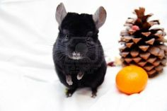 In the wild chinchillas are social animals, living in colonies of up to 100, so they should not be kept alone. URL: http://chinchilla.co/  Fb fan page: https://www.facebook.com/chinchilla.co