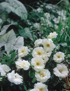 Shades of white and silver create a soothing atmosphere in any garden. Flower Carpet White