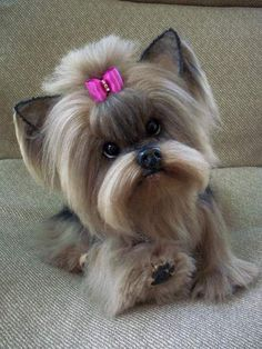"""Obtain excellent suggestions on """"Yorkshire terrier puppies"""". They are actually available for you on our web site. Yorkshire Terrier Puppies, Terrier Dogs, Boston Terriers, Bull Terriers, Cute Baby Animals, Animals And Pets, Yorkie Haircuts, Teacup Yorkie, Yorkie Puppy"""