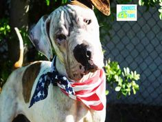 ** MIAMI ** SUNFLOWER (A1697447) I am a female white and brown brindle American Bulldog mix. The shelter staff think I am about 2 years old. I was confiscated and I may be available for adoption on 05/15/2015. — Miami Dade https://www.facebook.com/urgentdogsofmiami/photos/pb.191859757515102.-2207520000.1431263044./974672622567141/?type=3&theater