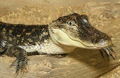 American Alligator | American Alligator | National Aquarium - WATERblog