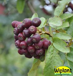 Sorbus 'Likjornaja', Sötrönn. Korsning mellan rönn och aronia. Vackra blad, mörkt vinröda ätliga bär. Höjd: 2-3 m.