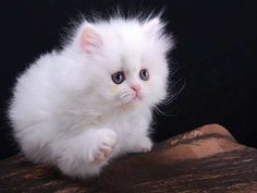 Cats we are used to see at home are absolutely unlike those, which I`m going to talk about now. These exotic cat breeds will be appreciated according to their deserts by cat owners. White Fluffy Kittens, White Cats, Fluffy Cat, Pretty Cats, Beautiful Cats, Cute Cats And Kittens, Kittens Cutest, Exotic Cat Breeds, Rare Breeds