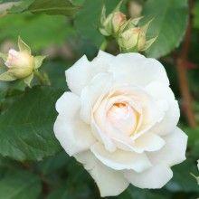 Rosa 'Aspirin Rose'