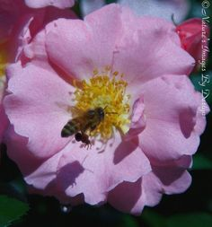 Honey Bee Photo   Pink Rose Image  8X12 From Nature's Images By Design #natureimagesbydesign #photography #nature, $35
