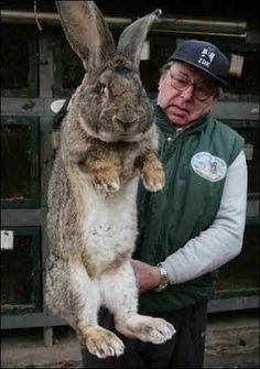 20 Best Flemish Giant Bunnies Images Rabbit Giant Rabbit