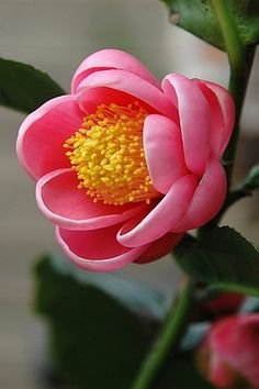 Camellia amplexicaulis of Flowers -Garden Services. Exotic Flowers, Amazing Flowers, My Flower, Fresh Flowers, Pink Flowers, Beautiful Flowers, Cactus Flower, Tropical Flowers, Pink Peonies