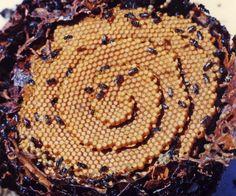 Tetragonula Carbonaria, una abeja muy matemática. | Matemolivares