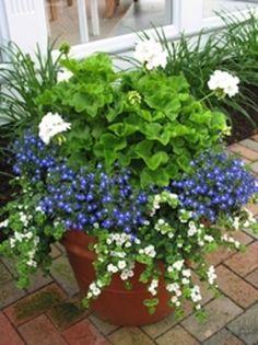 white geranium, blue lobelia, & white bacopa=full sun fun