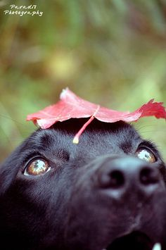Leaf Autumn Black Lab Dog