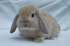 When you are looking for a furry companion which is not just cute, but easy to keep, then look no further than a family pet bunny. Mini Lop Bunnies, Mini Lop Rabbit, Dwarf Rabbit, Cute Baby Bunnies, Rabbit Baby, Cute Baby Animals, Small Rabbit, Bunny Bunny, Cute Bunny Pictures