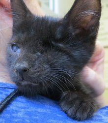 Alesander is an adoptable American Shorthair Cat in New York, NY. Jonelle, Dancy, Alesander and Lyanna are super cute kittens born around 4/18/13. Alesander had a severe ruptured eye infection when he...