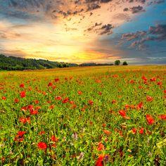beautiful red poppy field by Kitty Bern