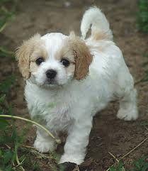 Cavachon puppy!