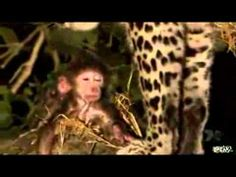 Leopard saves baby baboon