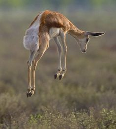 Thompson's Gazelle Stotting .The y are exceptionally alert and rely heavily upon their impressive sense of hearing, sight and smell to detect any threat.