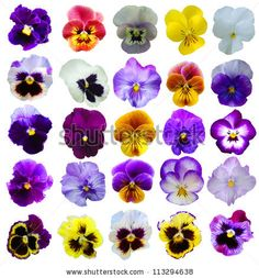 picture of pansies flower - Google Search