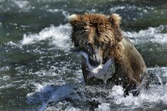 Bear and Salmon by Milko Marchetti on 500px
