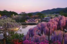 Blue hour and wisteria of Japa