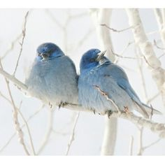 Little blue birds in the snow