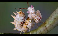 Badass Praying Mantis