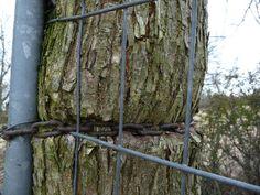 Baum frisst Kette
