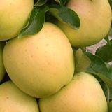 Golden Treat™ Urban Apple® | MM106 [SPRING]