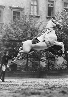 A Lippanzan horse in training in Austria. During WWII, General George Patton issued orders for them to be relocated away from the war zone, therefore saving the breed.