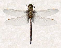 One of Forrest's images from our website of a scanned dragonfly