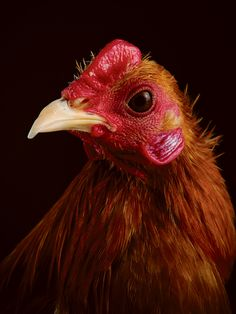 Which Chicken Is Right For You? A Breed Guide