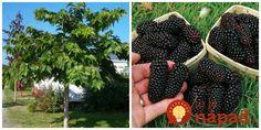 Moruša je zázrakom prírody. Jej priaznivé účinky sa dnes využívajú takmer všade. Práve kvôli jej vlastnostiam by nemala chýbať v žiadnej domácnosti. Korn, Blackberry, Fruit, Garden, Epilepsy, Garten, Lawn And Garden, Blackberries, Gardens