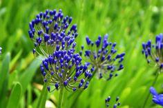 Agapanthus, Garden, Plants, Garten, Lawn And Garden, Gardens, Plant, Gardening, Outdoor