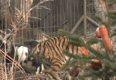 Goat Given To Tiger As Food Months Ago Is STILL His Friend