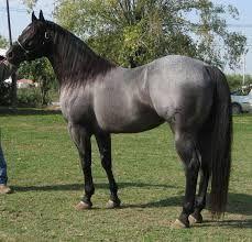 caballos arabes - Buscar con Google