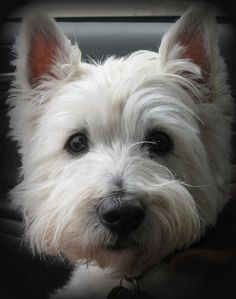 Westies make you glad to come home! Westies, Westie Puppies, Cute Puppies, Dogs And Puppies, Chihuahua Dogs, Doggies, Pet Dogs, Baby Dogs, Terriers